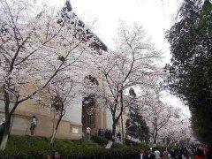武汉大学校园樱花树